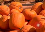 Image of pile of newly picked pumpkins California United States USA, 1967, second 9 stock footage video 65675020973