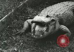 Image of Alligator Farm Washington DC USA, 1916, second 12 stock footage video 65675021537