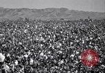 Image of cotton picking United States USA, 1941, second 4 stock footage video 65675021576