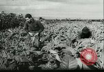 Image of Farming tobacco and fur in Denmark Denmark, 1942, second 3 stock footage video 65675021778