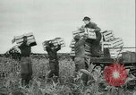 Image of Farming tobacco and fur in Denmark Denmark, 1942, second 9 stock footage video 65675021778