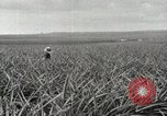 Image of Pineapple harvested Hawaii USA, 1916, second 12 stock footage video 65675022622