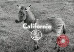 Image of Zonkey California United States USA, 1953, second 2 stock footage video 65675023023
