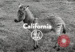 Image of Zonkey California United States USA, 1953, second 3 stock footage video 65675023023