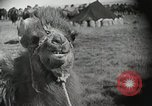 Image of Bactrian camels Gobi Desert Mongolia, 1930, second 9 stock footage video 65675023948