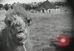 Image of Bactrian camels Gobi Desert Mongolia, 1930, second 10 stock footage video 65675023948