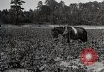 Image of Negro farmers treat cotton for boll weevils United States USA, 1921, second 12 stock footage video 65675023990
