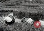 Image of Transplanting Rice Seedlings Japan, 1934, second 9 stock footage video 65675025116