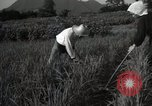 Image of Japanese traditional farming techniques Japan, 1950, second 6 stock footage video 65675025228
