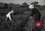 Image of Japanese traditional farming techniques Japan, 1950, second 7 stock footage video 65675025228