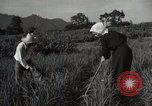 Image of Japanese traditional farming techniques Japan, 1950, second 8 stock footage video 65675025228