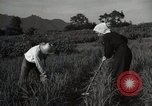 Image of Japanese traditional farming techniques Japan, 1950, second 9 stock footage video 65675025228
