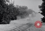 Image of Orange grove irrigation California United States USA, 1920, second 11 stock footage video 65675025651