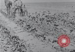 Image of Horse drawn cultivator United States USA, 1920, second 9 stock footage video 65675025657