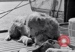 Image of polar canine bitch Washington DC USA, 1931, second 11 stock footage video 65675026602
