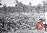 Image of inspecting crop United States USA, 1921, second 12 stock footage video 65675028387