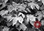 Image of cotton field United States USA, 1926, second 8 stock footage video 65675028411