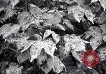 Image of cotton field United States USA, 1926, second 11 stock footage video 65675028411