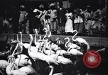 Image of People watching Flamingos in a zoo India, 1953, second 10 stock footage video 65675028600