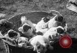 Image of Bulldog named Bright Beauty with her thirteen pups Philadelphia Pennsylvania USA, 1938, second 8 stock footage video 65675028779
