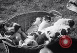 Image of Bulldog named Bright Beauty with her thirteen pups Philadelphia Pennsylvania USA, 1938, second 9 stock footage video 65675028779