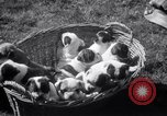 Image of Bulldog named Bright Beauty with her thirteen pups Philadelphia Pennsylvania USA, 1938, second 10 stock footage video 65675028779