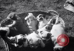 Image of Bulldog named Bright Beauty with her thirteen pups Philadelphia Pennsylvania USA, 1938, second 11 stock footage video 65675028779