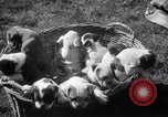 Image of Bulldog named Bright Beauty with her thirteen pups Philadelphia Pennsylvania USA, 1938, second 12 stock footage video 65675028779