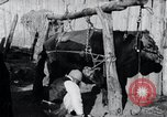 Image of korean farmer nails steel shoes to his bull Korea, 1936, second 12 stock footage video 65675028856