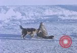Image of huskies Antarctica, 1950, second 13 stock footage video 65675029543