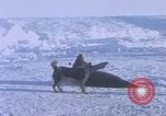 Image of huskies Antarctica, 1950, second 14 stock footage video 65675029543