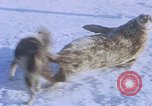 Image of huskies Antarctica, 1950, second 16 stock footage video 65675029543