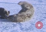 Image of huskies Antarctica, 1950, second 17 stock footage video 65675029543