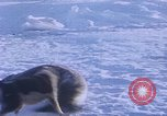 Image of huskies Antarctica, 1950, second 19 stock footage video 65675029543