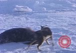 Image of huskies Antarctica, 1950, second 20 stock footage video 65675029543
