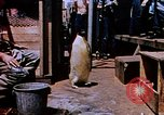 Image of emperor penguins Antarctica, 1950, second 1 stock footage video 65675029547