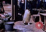 Image of emperor penguins Antarctica, 1950, second 2 stock footage video 65675029547