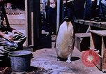 Image of emperor penguins Antarctica, 1950, second 3 stock footage video 65675029547