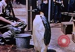 Image of emperor penguins Antarctica, 1950, second 8 stock footage video 65675029547