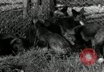 Image of Fromm Brothers Nieman Company silver fox fur farm Thiensville Wisconsin USA, 1934, second 17 stock footage video 65675029774