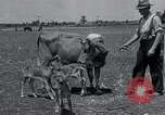 Image of 2-year old cow 'Cheery' Georgetown Delaware USA, 1934, second 2 stock footage video 65675029840