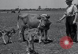 Image of 2-year old cow 'Cheery' Georgetown Delaware USA, 1934, second 3 stock footage video 65675029840