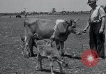 Image of 2-year old cow 'Cheery' Georgetown Delaware USA, 1934, second 5 stock footage video 65675029840