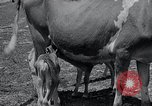 Image of 2-year old cow 'Cheery' Georgetown Delaware USA, 1934, second 6 stock footage video 65675029840