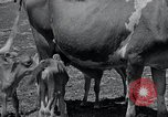 Image of 2-year old cow 'Cheery' Georgetown Delaware USA, 1934, second 8 stock footage video 65675029840