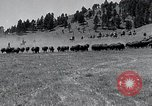 Image of American buffalo round-up South Dakota United States, 1934, second 11 stock footage video 65675029846