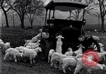 Image of lambs United States USA, 1919, second 4 stock footage video 65675030175