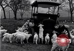 Image of lambs United States USA, 1919, second 5 stock footage video 65675030175