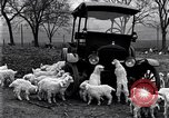 Image of lambs United States USA, 1919, second 7 stock footage video 65675030175