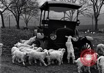Image of lambs United States USA, 1919, second 8 stock footage video 65675030175